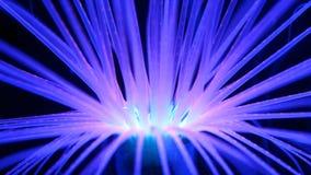 Anemone fluorescente d'ardore Immagini Stock Libere da Diritti