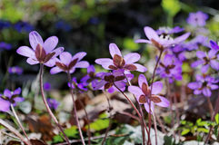Anemone in the forest. Royalty Free Stock Photo