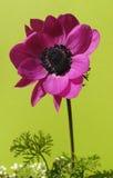 Anemone francese solitario isolato su verde fotografie stock libere da diritti