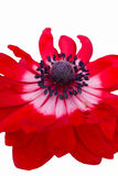 Anemone in the garden Royalty Free Stock Images