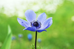 Anemone in the garden. One blue anemone coronaria flower in the garden, blurry background stock images