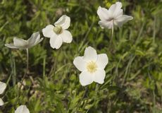 Anemone, a genus of perennial herbaceous flowering plants of the Ranunculaceae family stock photography