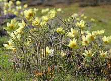 Anemone giallo della montagna (alpina del pulsatilla)) Immagine Stock Libera da Diritti