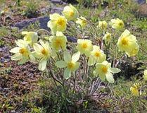Anemone giallo della montagna (alpina del pulsatilla)) Immagini Stock