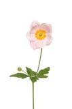 Anemone giapponese Fotografie Stock Libere da Diritti