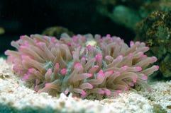Anemone (gigantea Condylactis) Στοκ εικόνα με δικαίωμα ελεύθερης χρήσης