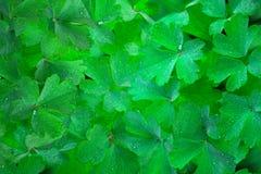 Anemone Green Lush Leaves Royalty Free Stock Photos