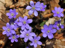 Anemone hepatica. Royalty Free Stock Image