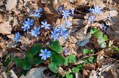 Anemone hepatica blue spring flower royalty free stock photo