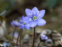 Anemone hepatica - blue spring woodland flower. Stock Image