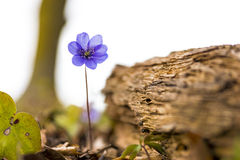 Anemone hepatica Royalty Free Stock Photography