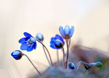 Anemone hepatica Stock Images