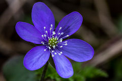 Anemone hepatica. (common hepatica), one of the first springtime flowers in Finland Stock Image