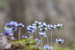 Anemone hepatica Royalty Free Stock Images