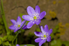 Anemone Hepatica Nobillis, Liverwort azul Foto de archivo libre de regalías