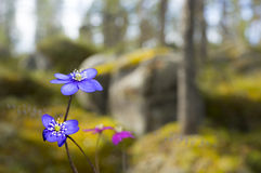 Anemone hepatica in spring landscape Stock Images