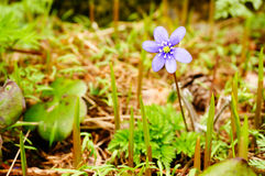 Anemone hepatica in spring stock images