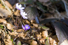 Anemone hepatica - Wild flower Royalty Free Stock Photo