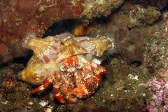 Anemone Hermit crab royalty free stock photo
