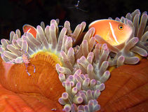 Anemone Home. Pink Anemonefish & Tosa Commensal Shrimps, Panglao, Philippines Stock Photography