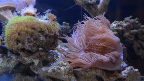 Anemone in home aquarium stock video
