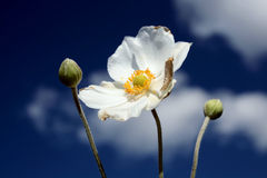 Anemone Honorine Jobert Stock Photography