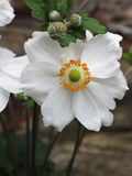 Anemone ( Honrine jobert ) Stock Photos