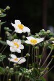 Anemone Hupehensis Στοκ Εικόνες