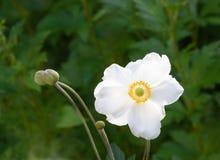 Anemone Hupehensis Στοκ Εικόνα