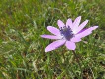 Anemone hupehensis, breitblättrige Anemone Lizenzfreie Stockfotografie