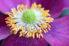 Anemone hupehensis flower closeup. Macro composition of a purple Anemone flower (Anemone hupehensis, also know as chinese, japanese or autumn anemone royalty free stock photography