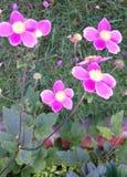 Anemone hupehensis 'Hardpen Abundance' Stock Photos
