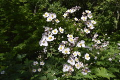 Anemone. Hupehensis japonica - beautiful tall white flowers Stock Photo