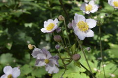 Anemone. Hupehensis japonica - beautiful tall white flowers Royalty Free Stock Photos