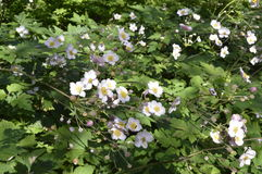 Anemone. Hupehensis japonica - beautiful tall white flowers Royalty Free Stock Images