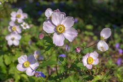 Anemone hupehensis japonica flowering plant, Japanese anemone flowers in bloom, thimbleweed windflowers royalty free stock images