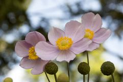 Anemone hupehensis japonica, Japanese anemone, thimbleweed windflower in bloom Stock Images
