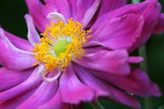 Anemone Japonica Στοκ εικόνα με δικαίωμα ελεύθερης χρήσης