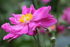 Anemone Japonica Στοκ Εικόνα