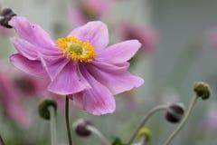 Anemone Japonica Στοκ Φωτογραφίες