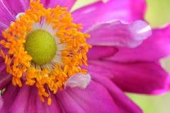 Anemone Japonica Στοκ φωτογραφίες με δικαίωμα ελεύθερης χρήσης