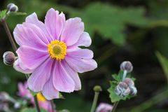 Anemone Japonica Στοκ Εικόνες