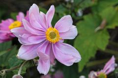 Anemone Japonica Στοκ Φωτογραφία