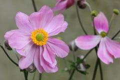 Anemone Japonica Στοκ εικόνες με δικαίωμα ελεύθερης χρήσης