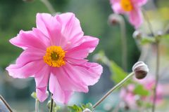 Anemone japonica Stock Images