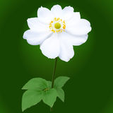 Anemone japonica flower Stock Photos