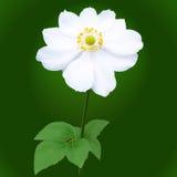 Anemone japonica flower. White Anemone japonica flower on an dark green background Stock Photos