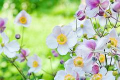 Anemone japonica flowers, lit by sunlight Royalty Free Stock Photography