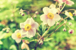 Anemone japonica flowers, lit by sunlight Stock Images