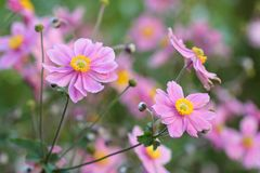 Anemone japonica Royalty Free Stock Image